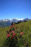 Pianta di Alpenrose Fotografia Stock Libera da Diritti