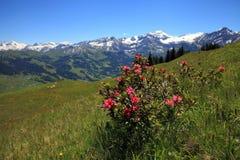 Pianta di Alpenrose Immagini Stock Libere da Diritti