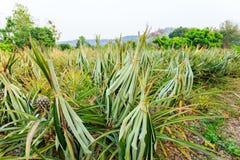 Pianta di ananas nel Nord della Tailandia Fotografia Stock