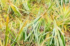Pianta di ananas nel Nord della Tailandia Immagini Stock Libere da Diritti