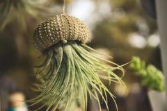 Pianta di aria di tillandsia di Epiphyte che cresce da una conchiglia fuori scavata che pende da un filo fotografia stock