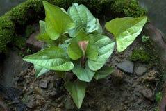 Pianta di Arokyapacha che ringiovanisce pianta Fotografia Stock Libera da Diritti