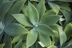 Pianta di attenuata dell'agave Immagine Stock Libera da Diritti