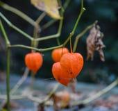 Pianta di autunno delle piante di lanterna cinese immagine stock