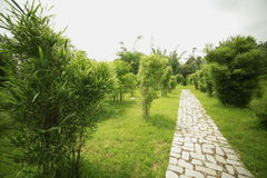 Pianta di bambù Immagine Stock Libera da Diritti