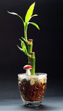 Pianta di bambù in un vaso Fotografia Stock