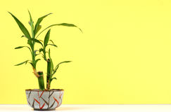 Pianta di bambù Immagini Stock