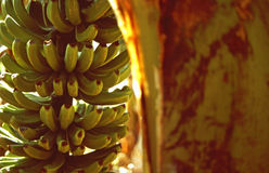 Pianta di banana Fotografia Stock Libera da Diritti