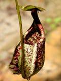 pianta di brocca Fotografia Stock