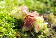 Pianta di brocca carnivora Fotografia Stock