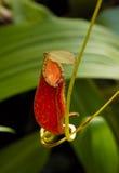 Pianta di brocca carnivora Fotografie Stock