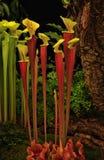 Pianta di brocca (Sarracenia Johnny ibrido Marr)) Immagini Stock