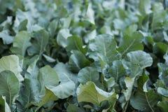 pianta di broccolini nel campo Broccoli che crescono nell'orto Immagini Stock Libere da Diritti