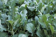 pianta di broccolini nel campo Broccoli che crescono nell'orto Immagini Stock