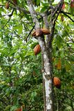 Pianta di cacao fotografie stock