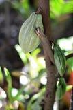 Pianta di cacao caricata Immagini Stock Libere da Diritti