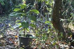 Pianta di cacao che dirige la piantatura in vaso immagine stock libera da diritti