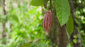 Pianta di cacao con frutta, Bali Indonesia Fotografie Stock Libere da Diritti