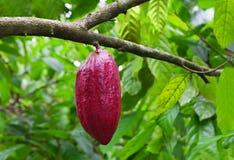 Pianta di cacao con i baccelli Fotografia Stock Libera da Diritti