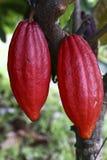 Pianta di cacao con i baccelli immagine stock