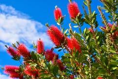 Pianta di Callistemon con i fiori del bottlebrush ed i germogli di fiore rossi contro cielo blu intenso un giorno di primavera so immagine stock