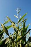Pianta di cereale Immagini Stock