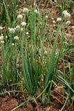 Pianta di cipolla Fotografia Stock Libera da Diritti