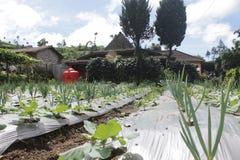 pianta di cipolla rossa Fotografie Stock