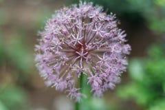 Pianta di cipolla viola di fioritura in giardino Cipolla decorativa del fiore Il primo piano delle cipolle viola fiorisce sul cam Immagini Stock Libere da Diritti