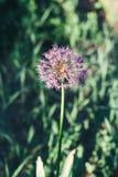 Pianta di cipolla viola di fioritura in giardino Cipolla decorativa del fiore Il primo piano delle cipolle viola fiorisce sul cam Fotografia Stock