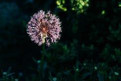 Pianta di cipolla viola di fioritura in giardino Cipolla decorativa del fiore Il primo piano delle cipolle viola fiorisce sul cam Immagini Stock