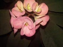 Pianta di Cristo & x28; flowers& x29; fotografia stock
