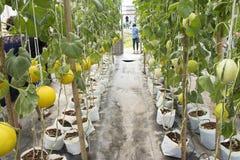 Pianta di cucumis melo o del melone in giardino della piantagione agricola Fotografia Stock Libera da Diritti