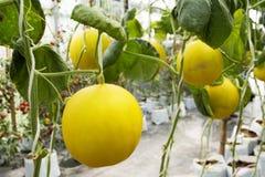 Pianta di cucumis melo o del melone in giardino della piantagione agricola Fotografie Stock