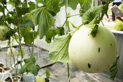 Pianta di cucumis melo o del melone in giardino della piantagione agricola Fotografia Stock