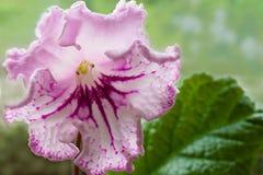 Pianta di decoro, bei fiori dello Streptocarpus Fotografia Stock