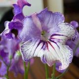Pianta di decoro, bei fiori dello Streptocarpus Fotografie Stock Libere da Diritti