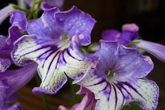 Pianta di decoro, bei fiori dello Streptocarpus Fotografie Stock