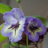 Pianta di decoro, bei fiori di Gloxinia Immagine Stock