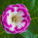 Pianta di decoro, bei specios rosa di sinningia del fiore di Gloxinia Fotografia Stock Libera da Diritti