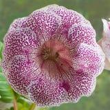 Pianta di decoro, bella sinningia s del fiore di Gloxinia di rosa della tigre Fotografie Stock Libere da Diritti