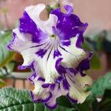 Pianta di decoro, bello fiore dello Streptocarpus Fotografia Stock