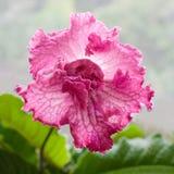 Pianta di decoro, bello fiore dello Streptocarpus Immagine Stock Libera da Diritti