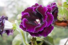 Pianta di decoro, bello fiore porpora scuro di Gloxinia Immagini Stock