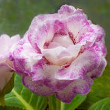 Pianta di decoro, bello speciosa di sinningia del fiore di Gloxinia Immagini Stock