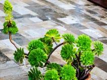 Pianta di decoro di aeonium (succulente) Fotografia Stock