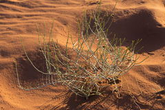 Pianta di deserto con le piste dell'insetto nel deserto di Wadi Rum, Giordania Fotografia Stock Libera da Diritti