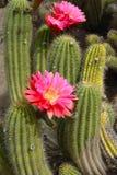 Pianta di deserto del cactus con i fiori rossi sboccianti immagini stock libere da diritti