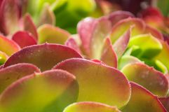 Pianta di deserto rossa Fotografia Stock