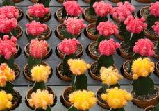 Pianta di deserto rossa e gialla del cactus fotografia stock libera da diritti